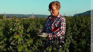 «Сделано в Севастополе». Возрождение производства ягод