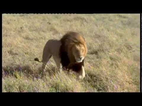 KENYA  - The Big 5 in the MASAI MARA - Wildlife Safari (pt3).