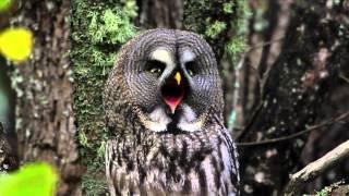 Metsän Tarina - Pöllöt