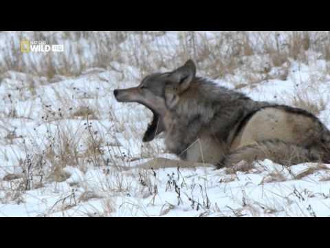 El valle de los Lobos /documentales natgeo wild español HD