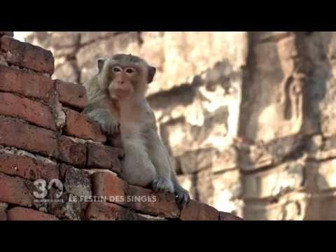 Vidéo Le festin des Singes