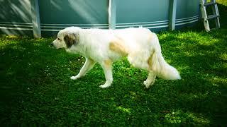 Пиренейская горная собака (англ. Pyrenean Mountain Dog и Great Pyrenees)