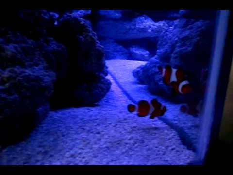 Male Clownfish Laying On Bottom Of The Tank