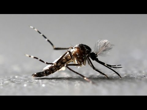 2 new virus-carrying mosquito species discovered in Florida