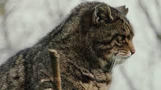 The Last Highland Tiger