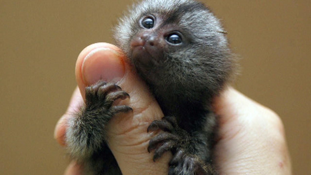 Thumb Monkeys Are HUGE - YouTube