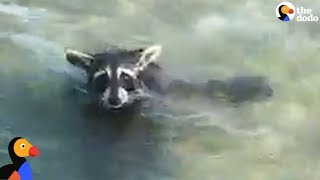 EXHAUSTED Raccoon Rescued From MIDDLE Of A Bay | The Dodo thumbnail