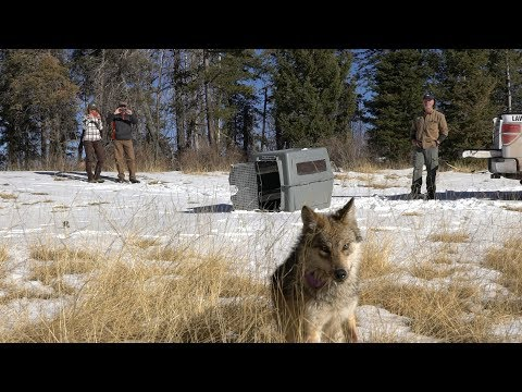 20th Anniversary Of Mexican Wolf Reintroduction