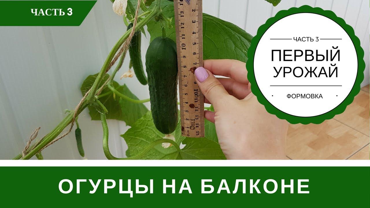 Огурцы на подоконнике первый урожай формирование куста - you.
