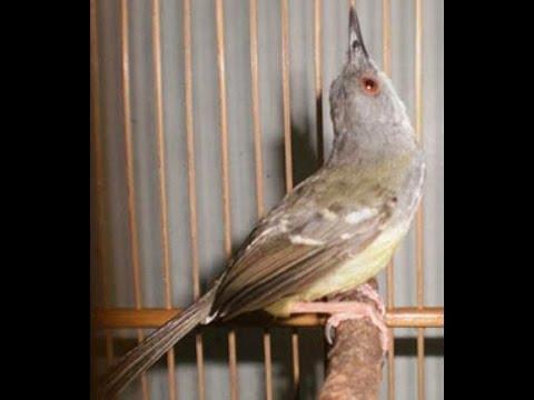 Master Burung : Prenjak Gacor Volume JOS!!!