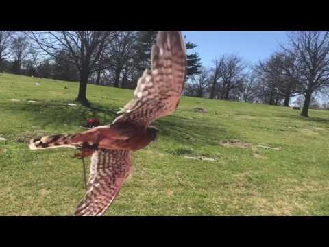 2017 Kestrel hawking trailer