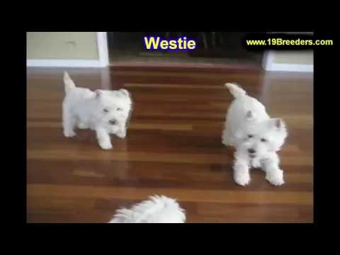 West Highland White Terrier, Westie, Puppies, Dogs, For Sale, In Tampa, Florida, FL, 19Breeders