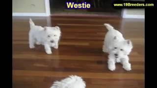 West Highland Terrier, Puppies, For, Sale, In, Albuquerque, New Mexico, Nm, Gallup, Carlsbad, Alamog