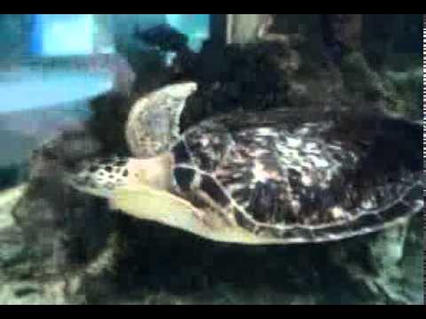 tartaruga e pesce palla