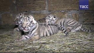 Видео новорожденных амурских тигрят из крымского сафари парка
