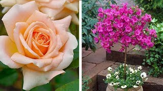 How To Grow Standard Shrubs Video: Jeff On How-to Plant Standard Stem Grafted Shrubs