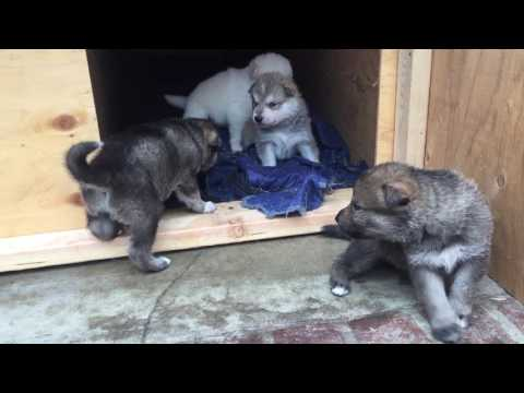 Wolf Hybrid Puppies And Dad