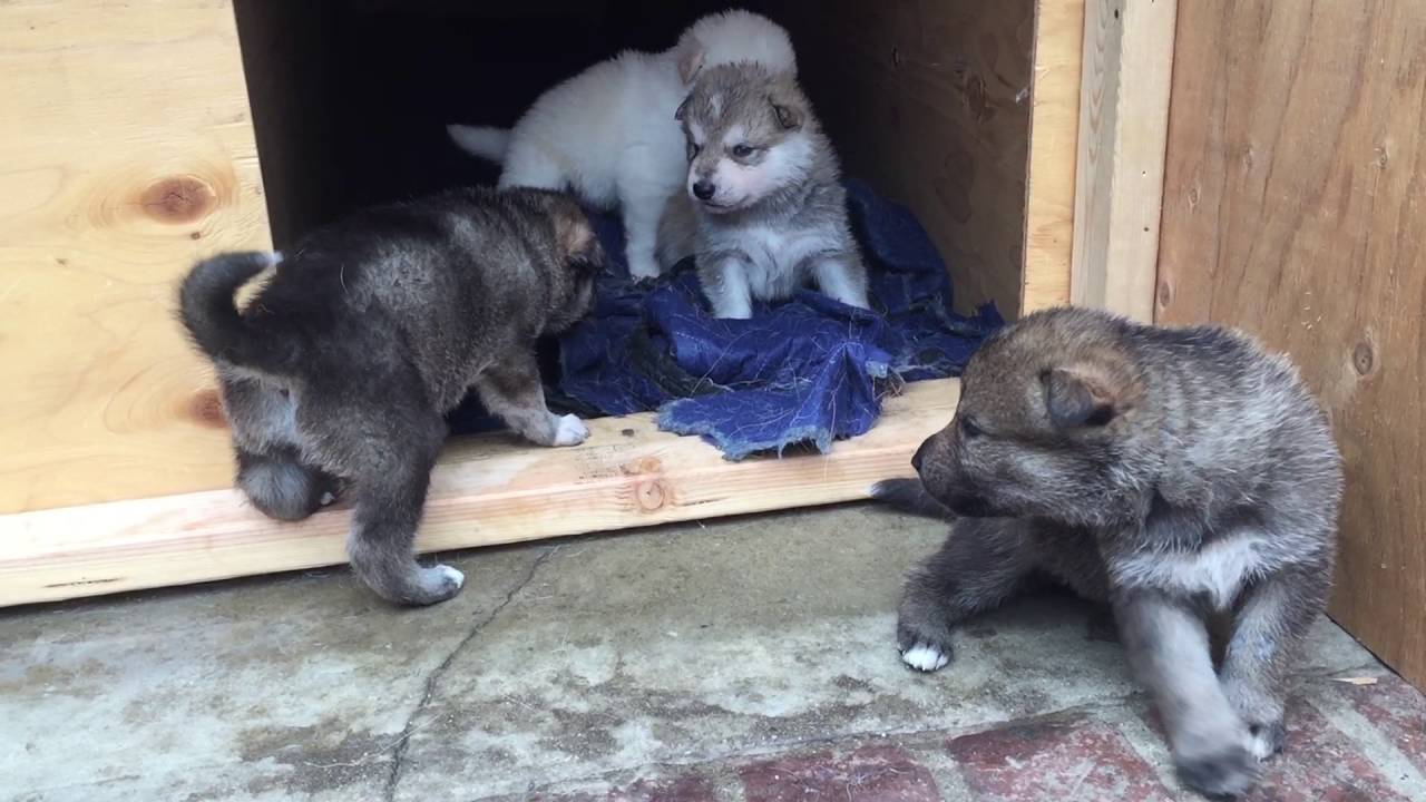 Wolf hybrid puppies for sale in ohio - Beautiful Siberian Husky Wolf Hybrid Puppies Playing Outside In