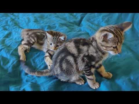 Bengal Kittens 😻 Too Cute!