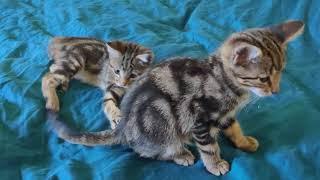 Bengal kittens fight 🙀