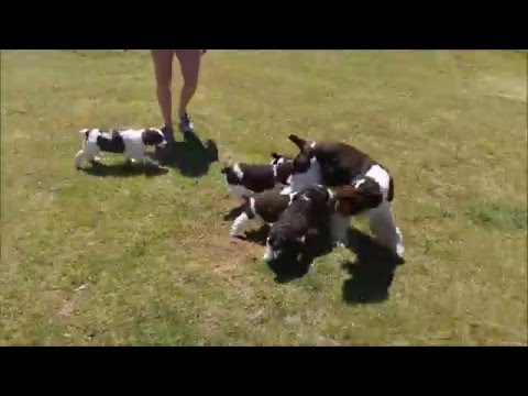 English Springer Spaniel Puppies Play with Mom