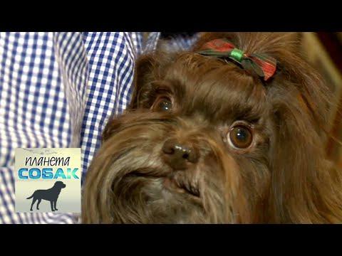 Русская цветная болонка. Планета собак 🌏 Моя Планета