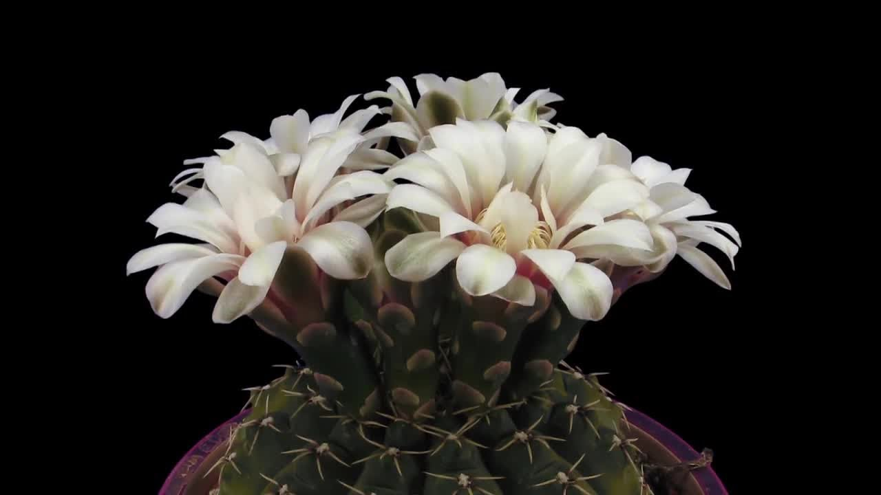 Opening White Cactus Flowers Stock Video Youtube