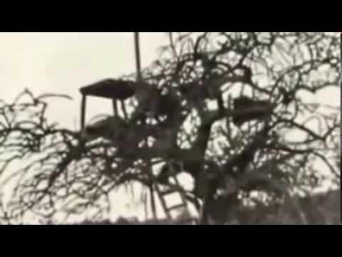 Documental de Leones - Los Leones come Hombres