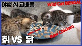 (칡) 1개월된 야생 고양이가 닭고기를 본 첫 반응은?…