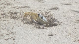 Atlantic Ghost Crab Throwing Sand