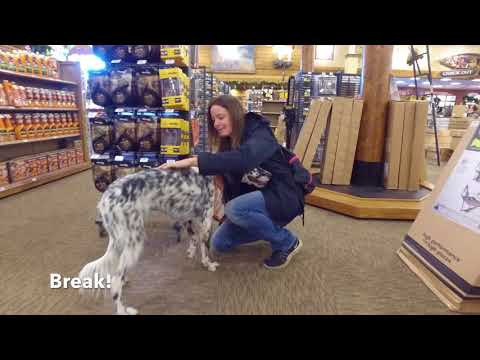 Best Dog Training in Columbus, Ohio! 1.5 Year Old English Setter, Phoebe!