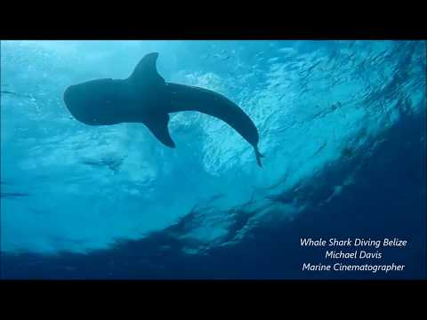 Whale Shark Dive Belize 'Virtual Dive Highlights'
