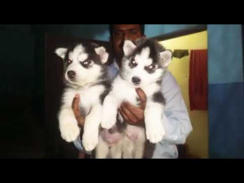 Siberian Husky Puppy Sale In Ahmedabad 9671116765 Pets Company