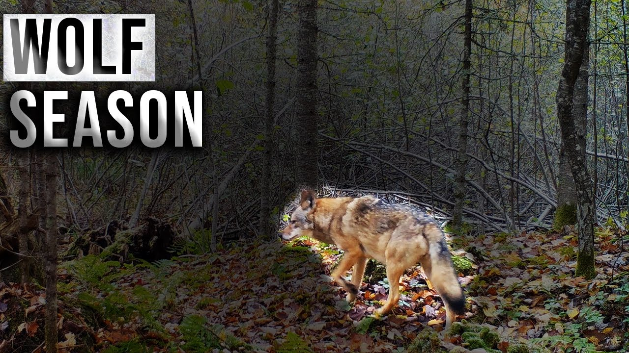 Why We Need Wolf Management