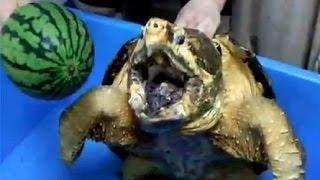 Огромные волжские черепахи,просто жуть :)))