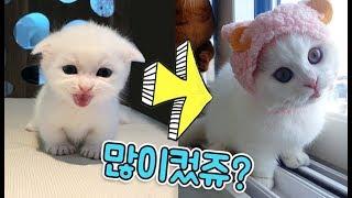 먼치킨모찌 많이컸쥬?? 심쿵주의!모찌모음집 모모네고양이 아비시니안오빠와 먼치킨 동생의 꿀잼동물스토리 어린이채널♡모모TV/모모토이즈