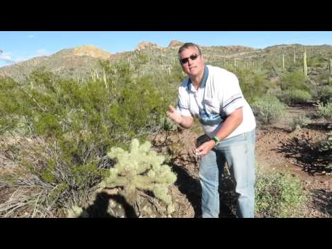 Most Dangerous Cactus In Arizona Desert: Apache Weapon-Jumping Cholla Cactus - The Extreme Case