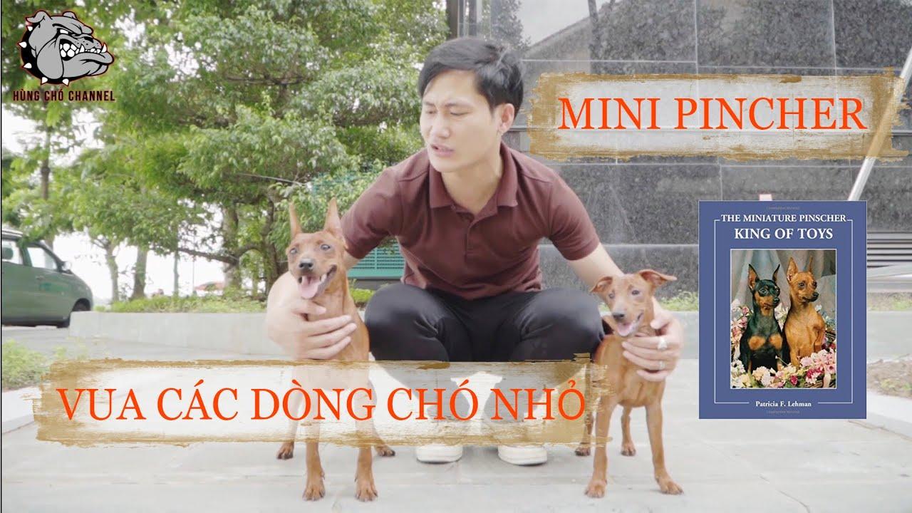 [ DOG REVIEW ] -Tìm hiểu giống chó MINIATURE PINSCHER - King of toys/ Hùng Chó Channel