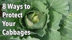 Garden Pests: 8 Ways to Protect Your Cabbages