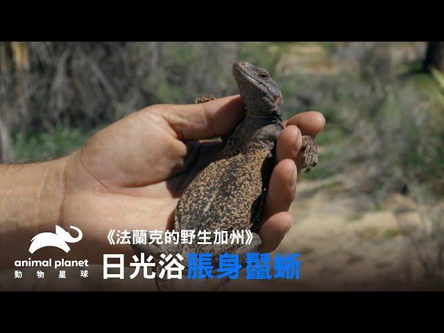 無法抗拒手指的蜥蜴?直接在主持人手上放鬆曬太陽!|動物星球頻道