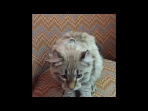 Highlander cat compilation