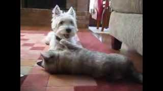 Westie And Cat Play Fight