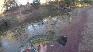 Murray Cod Surface Action
