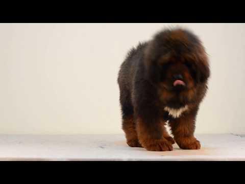 Tibetan Mastiff Puppies Daldi Asantiko