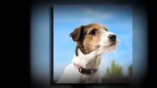 Jack Russell Potty Training