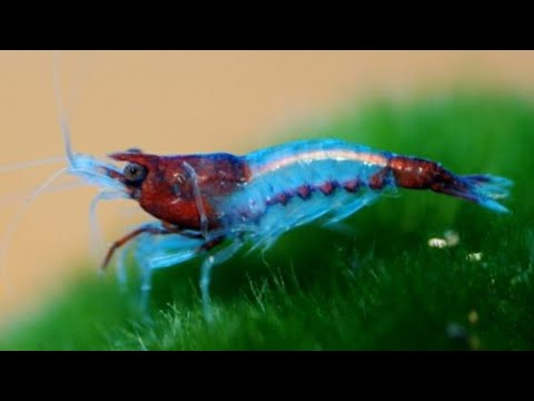 The History of Neocaridina Shrimp -How We Have Bred New Colors Into The  Line from Red Cherry Shrimp!