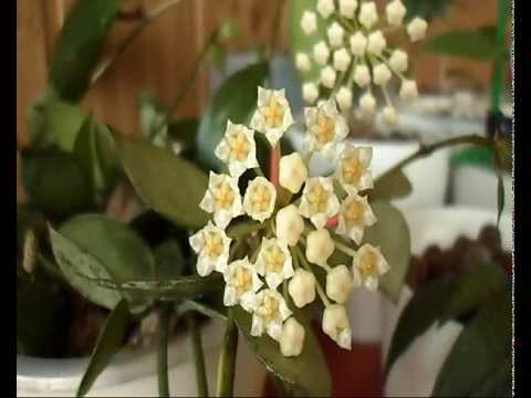 Hoya lacunosa & lacunosa 'Eskimo'