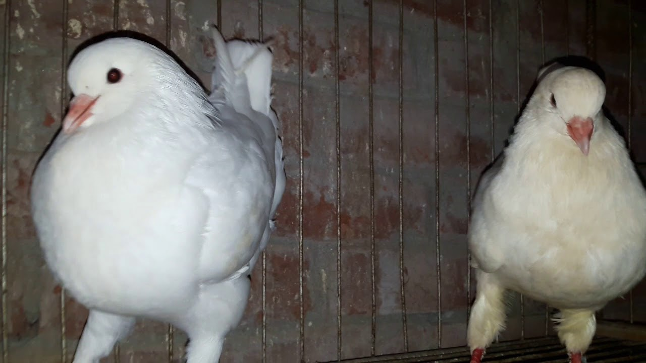 How To Pet White King PIGEON    Pigeon for Sale