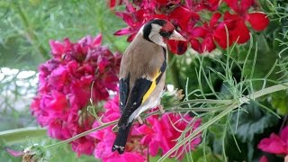 European Goldfinch - Distelfink - Carduelis carduelis eating flower seeds