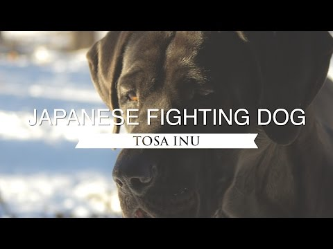 TOSA INU JAPAN'S NATIONAL FIGHTING DOG